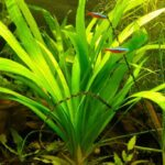 Стрелолист Эатона (Sagittaria eatoni) 01