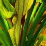 Эхинодорус Ашерсона (Echinodorus aschersonianus) 6