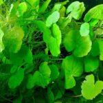 Гидрокотила белоголовая(Hydrocotyle leucocephala)3