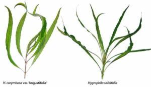 Гигрофила длиннолистная (Hygrophila longifolia)3