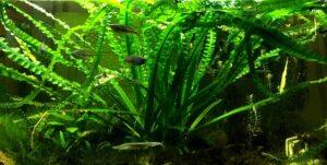 Кринум плавающий (Crinum natans) 5