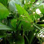Эхинодорус лопатолистный (E. palaefolius) 3