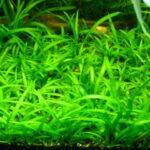 Сагиттария шиловидная (Sagittaria subulata)1