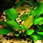 Эхинодорус крапчатый (Echinodoras rubromaculatus)1