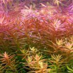 Ротала круглолистная (R. rotundifolia / indica) 1