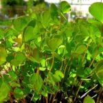 Марсилия четырехлистная (Marsilea quadrifolia) 6