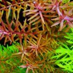 Ротала круглолистная (R. rotundifolia / indica) 7