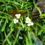 Стрелолист шиловидный (Sagittaria subulata) 2