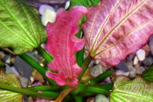 Эхинодорус Ориенталь (Echinodorus Oriental) 3