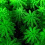 Перистолистник (Myriophyllum aquaticum) 1