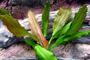 Эхинодорус Розе (Echinodorus Rose) 1