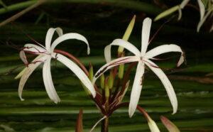 Кринум таиландский (Crinum thaianum) 2