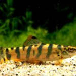 Боция тигровая (Syncrossus hymenophysa) 2