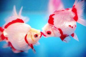Золотые рыбки - Поцелуй фото