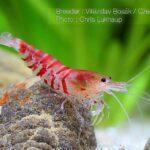 Креветка Тигровая Красная (Red Tiger Shrimp) 4