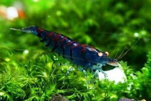 Креветка Синий Тигр/Orange Eye Blue Tiger Shrimp 2