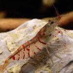 Креветка Тигровая Красная (Red Tiger Shrimp) 5