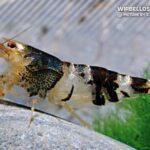 Креветка Пчелка  (Caridina serrata) 3