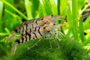 Креветка Тигровая (Tiger Shrimp) 1