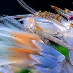 Креветка камерунский фильтратор(Atya gabonensis)03