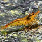 Креветка Тигровая Золотая (Golden Tiger Shrimp) 6