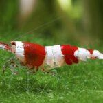 Креветка Красный Кристалл (Crystal Red Shrimp)1