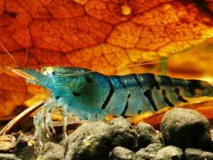 Креветка Синий Тигр/Orange Eye Blue Tiger Shrimp 1