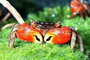 Красный мангровый краб (Pseudosesarma moeshi) 01