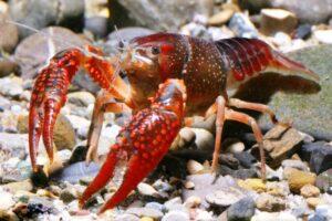 Рак флоридский красный (Procambarus Clarkii)4