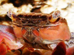 Красный мангровый краб (Pseudosesarma moeshi) 03
