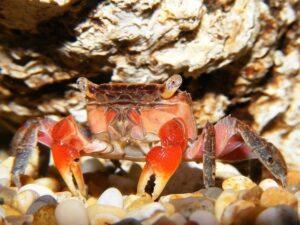 Красный мангровый краб (Pseudosesarma moeshi) 04