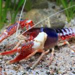 Рак флоридский (Procambarus Clarkii 'Ghost')02