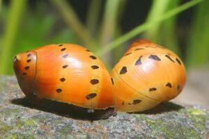Улитка Неритина (Neritina natalensis sp.) 1