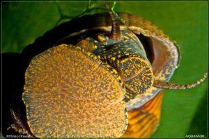 Улитка Тиломелания Желтый Кролик (Tylomelania sp)2