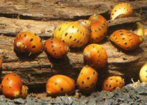 Улитка Неритина (Neritina natalensis sp.) 3