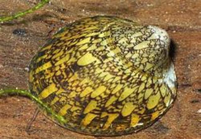 Септария фарфоровая желтая (Septaria porcellana)