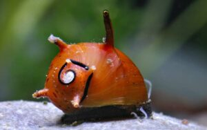 Улитка рогатая (Clithon diadema)6