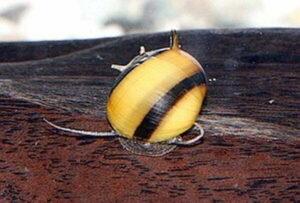 Улитка рогатая (Clithon diadema)5