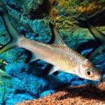 Акулий бала (Balantiocheilos melanopterus) 2