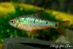 Барбус Зеленый (Barbodes semifasciolatus) 1