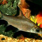 Акулий бала (Balantiocheilos melanopterus) 3