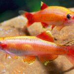 Кардинал золотой (Tanichthys albonubes) 2