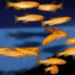 Данио рерио ГлоФиш (Danio rerio GloFish) 3