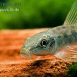 Гиринохейлус (Gyrinocheilus aymonieri) 7
