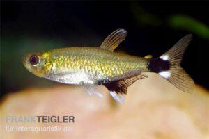 Афиохаракс парагвайский (A. paraguayensi) 1