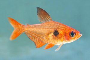 Фантом красный (Hyphessobrycon sweglesi) 1
