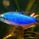 Керри (Inpaichthys kerri Super Blue) 4