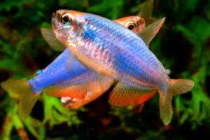 Керри (Inpaichthys kerri Super Blue) 1