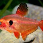 Фантом красный (Hyphessobrycon sweglesi) 3
