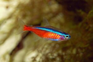 Неон красный (Paracheirodon axelrodi) 8